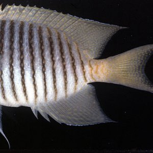 Blackspot Angelfish
