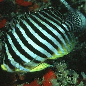 Multibarred Angelfish