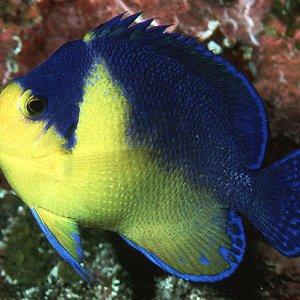 Venusta Angelfish