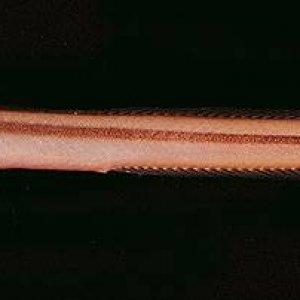 Onestripe Wormfish