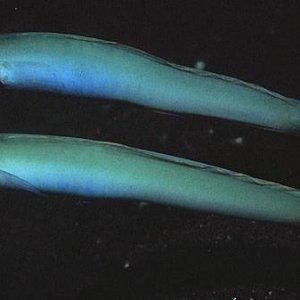 Monoptera Dartfish