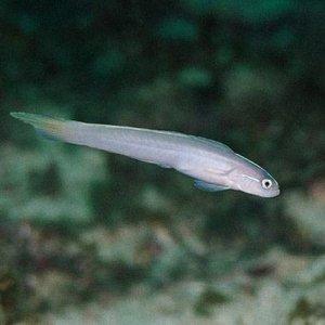 Randall's Dartfish