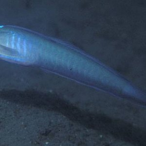Robust Ribbon Goby