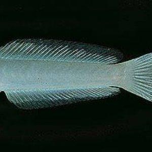 Arabian Dartfish
