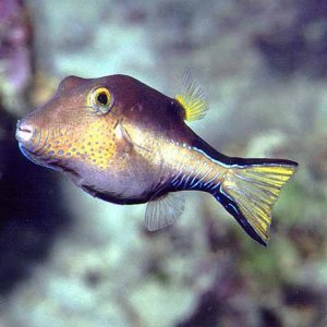 Caribbean sharpnose-puffer