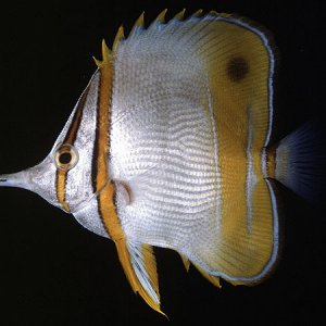 Margined Butterflyfish