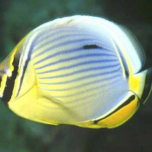 Melon Butterflyfish
