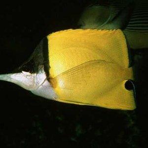 Big Longnose Butterflyfish