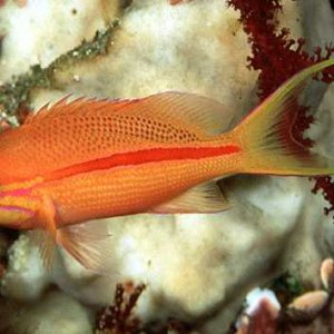 One-stripe Anthias