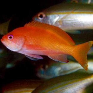 Townsend's Anthias