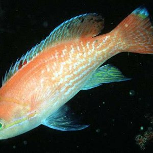 Twospot Anthias