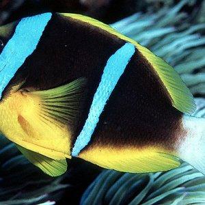 Orange-fin Clownfish