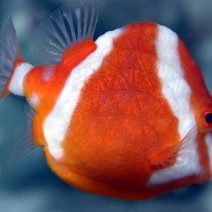 White-Barred Boxfish