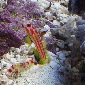 Yasha Hase Shrimp Goby - Stonogobiops yasha