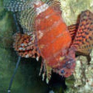 th_lionfish_1_