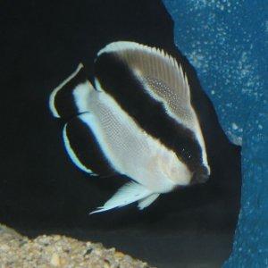bandit Angel - Desmoholacanthus arcuatus