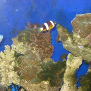 My clownfish