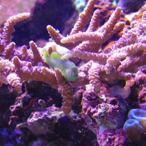 Green Clown Goby in A. millepora