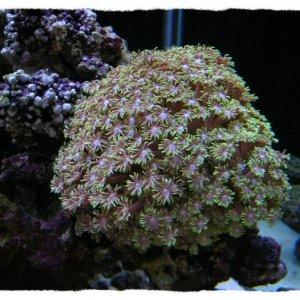 Green FlowerPot (Goniopora lobata)