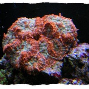 Orange mushroom (Rhodactis sp)