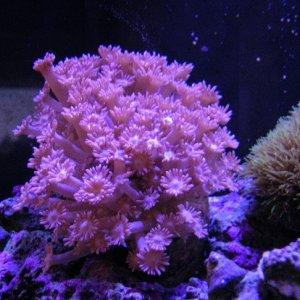 Pink flowerpot (Goniopora lobata)