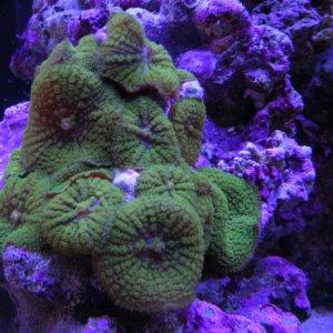 Geen mushrooms (Rhodactis inchoata)