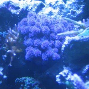 purple_pocaporia