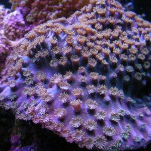 Pagoda cup coral (Turbinaria peltata)