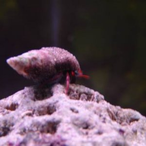 Hermit Crab Climbs GIant Rock!!