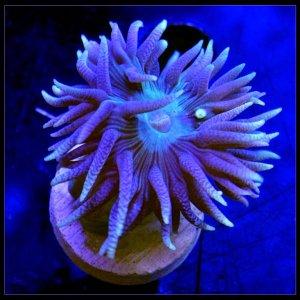 Duncan Purple 2