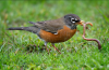 robin-with-worm.png