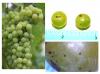July 7 Grape Pix.png