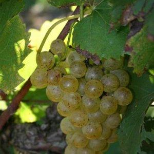 chardonnel grapes
