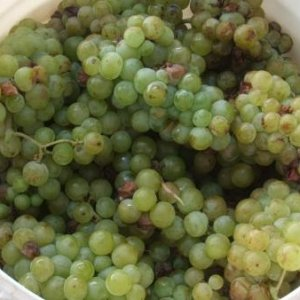 300 lbs of Muscato & Blanc du bois grapes