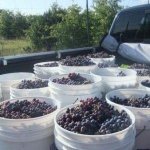 Sangiovese, Lomanto & Syrah grapes