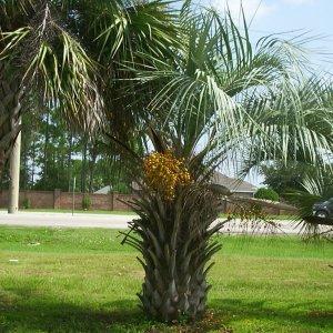 A Pindo palm tree