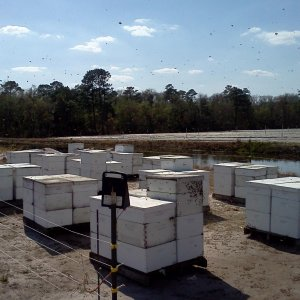 60 of our hives that went to blueberry pollination 2013