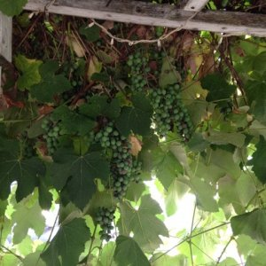 I have been trying to determine the variety of these grapes.  Does anyone have an idea?